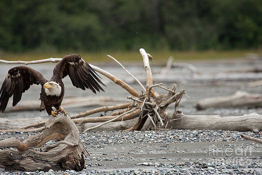 Bald eagle taking off from dritf wood in Alaska. by Robert Wirth