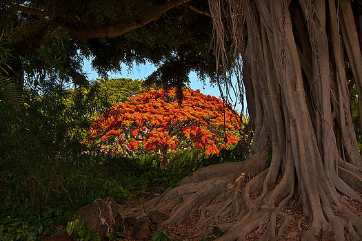Roger Mullenhour - Banyan and Poinciana Trees