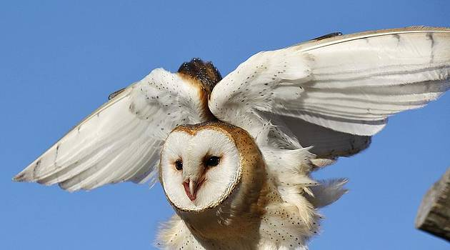 Paulette Thomas - Barn Owl in Flight