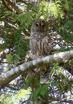 Barred Owl  by Francine Frank