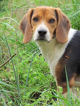 Beagle by Ginger Wemett