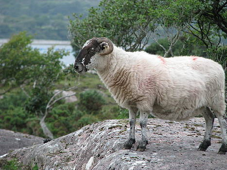 Beara Sheep by Sheila Rodgers