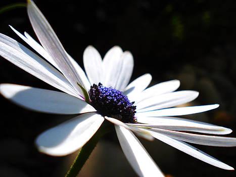 Sumit Mehndiratta - Beautiful daisy