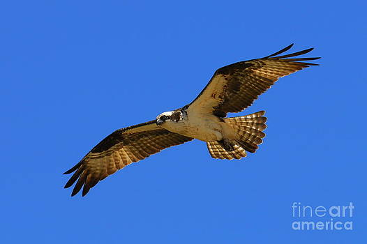 Beautiful Osprey by Curtis Brackett