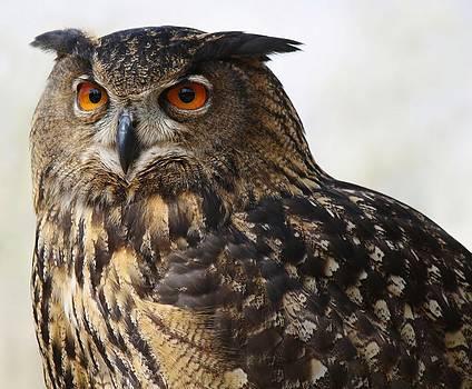 Paulette Thomas - Beautiful Owl