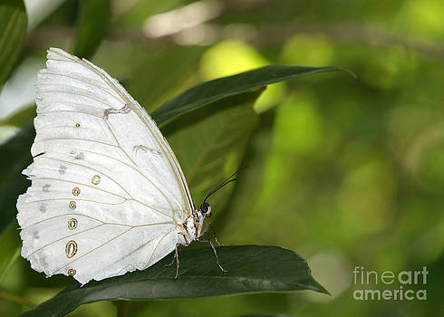 Sabrina L Ryan - Beautiful White Morpho Butterfly
