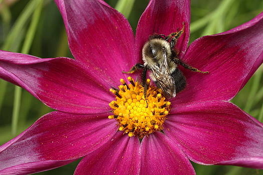 Bee on Flower by Keith Baenziger