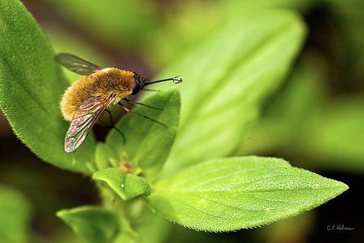 Christopher Holmes - Beefly