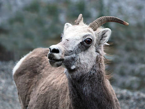 Bighorn Sheep Ewe by Wyatt Rivard