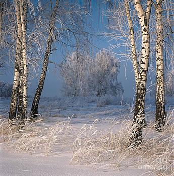 Birch trees. Frost    by Elena Filatova