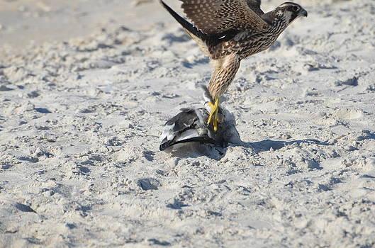 Bird hunts bird by Susan McNamara
