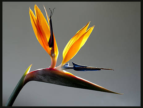 Bird of Paradise 2 by Sherry Fain