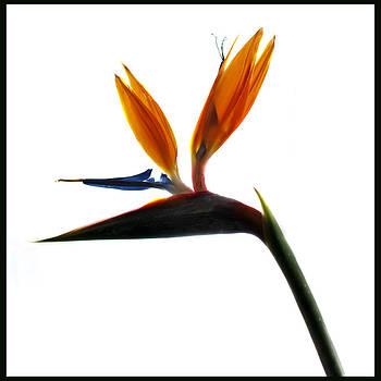 Bird of Paradise 5 by Sherry Fain