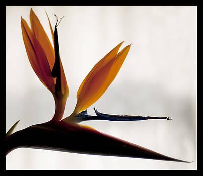 Bird of Paradise  by Sherry Fain