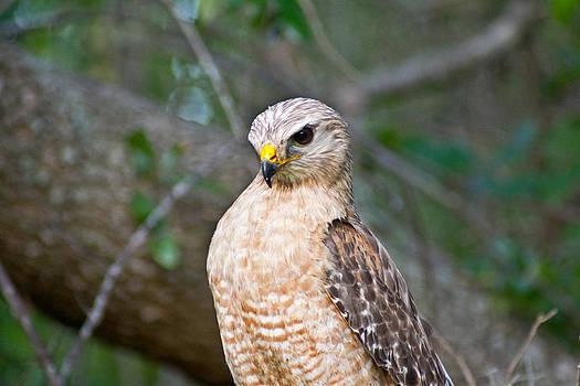 Bird of Prey by Felix Santos