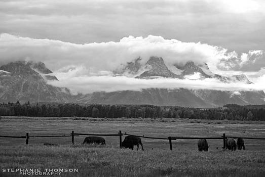 Bison at the Tetons by Stephanie Thomson