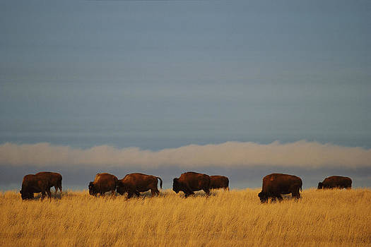 Bison Graze On The Shortgrasses by James P. Blair