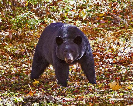Black Bear in the Wild by John Stoj