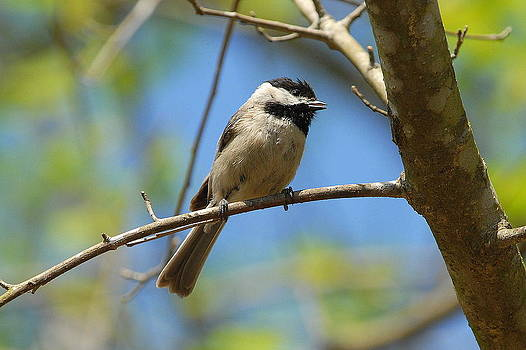 Black Cap Chickadee by Curtis Brackett