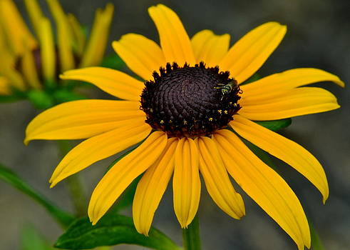 Frozen in Time Fine Art Photography - Black Eyed Susan