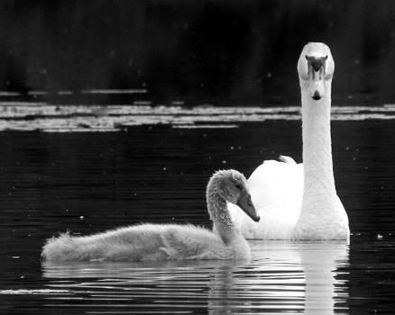 Black Pond Swans #1 BW by Kira Varszegi