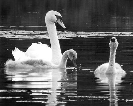 Black Pond Swans #11 BW by Kira Varszegi
