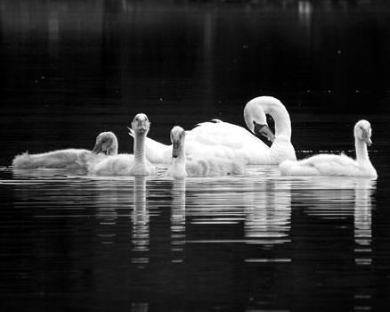 Black Pond Swans #3 BW by Kira Varszegi