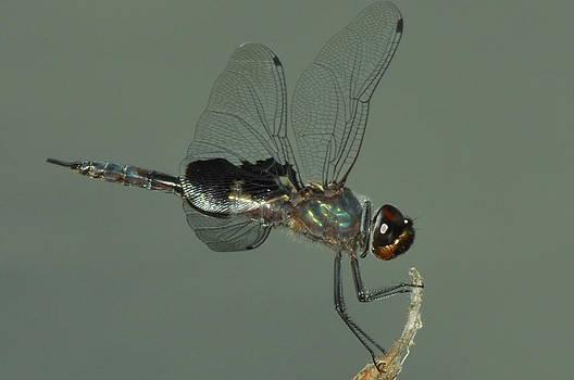 Black Saddlebag Dragonfly by Dick Todd