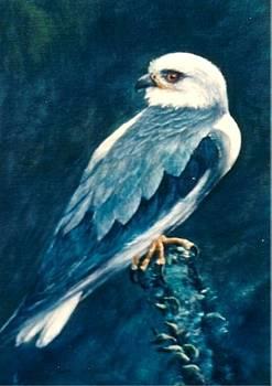 Black Shouldered Kite by Rita Palm