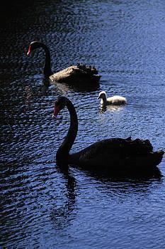 Noel Elliot - Black Swans and Cygnet