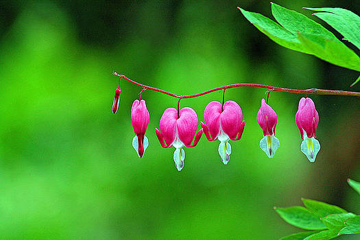 Bleeding Hearts by Louis Sarkas