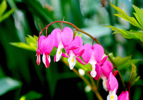 Bleeding Hearts by Shaileen Landsberg