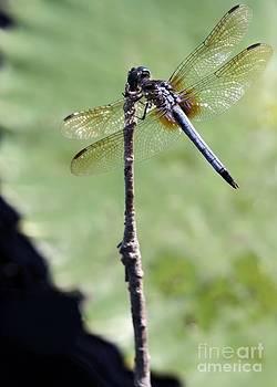 Sabrina L Ryan - Blue Dasher Dragonfly Dancer