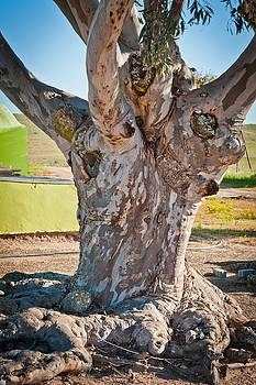 Blue Gum Tree by Cliff C Morris Jr