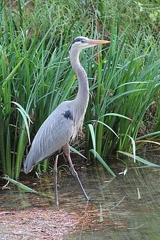 Blue Heron by Bridget Finn