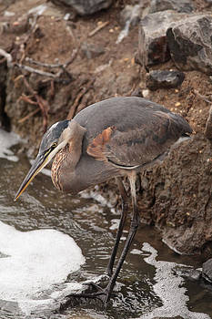 Blue Heron by George Miller