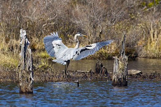 Blue Heron Landing by John Stoj