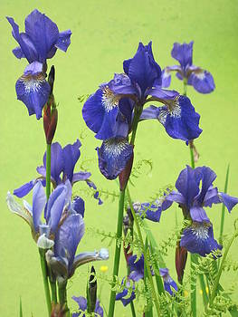 Blue Irises by Jennifer Watson