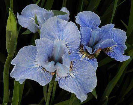 Blue Irises by Kira Varszegi