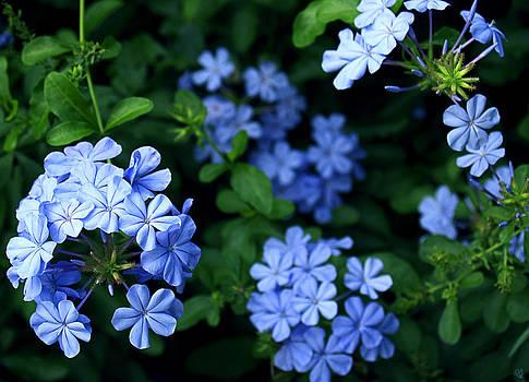 Blue Plumbago by Barbara Middleton