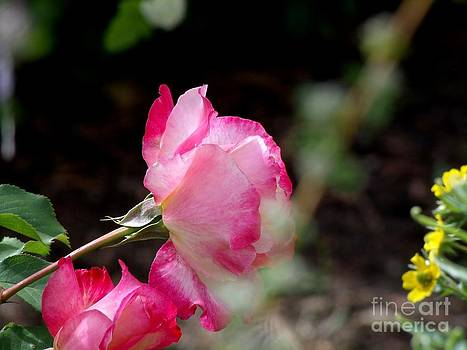 Blushing Pink Beauties by Donna Parlow