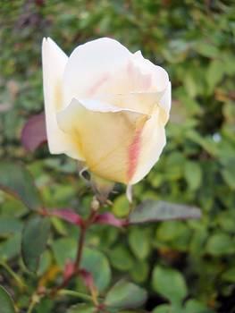 Lynnette Johns - Blushing White