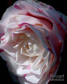 Gilbert Artiaga - Blushing White Rose
