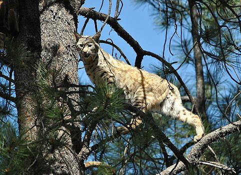Bobcat - Arizona by Eleu  Tabares