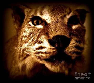 Bobcat  by Christy Beal