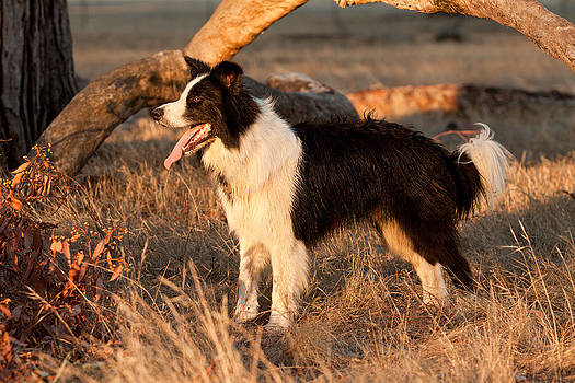 Michelle Wrighton - Border Collie at Sunset