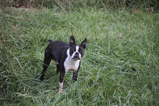 Boston Terrier by George Miller
