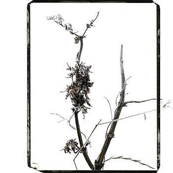 BERNARD JAUBERT - Branch of dried out flowers.