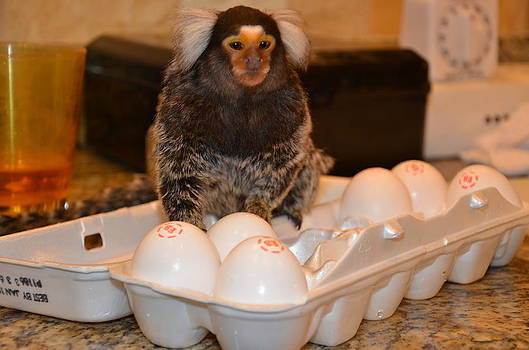 Breakfast Chewy The Marmoset by Barry R Jones Jr