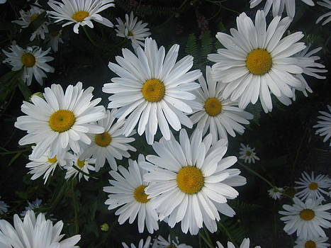 Bright Eyed Daisys by Cheryl Perin